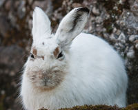 野兔山白色 免版税库存照片