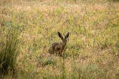 野兔是大胆和好奇的 免版税图库摄影