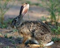 野兔洗刷 免版税库存图片