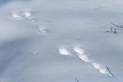 野兔的踪影。 库存照片
