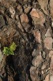 野兔英尺蕨生长在加那利群岛杉木松属canariensis一棵下落的树的骨碎补属canariensis  免版税库存照片