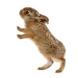 年轻野兔被隔绝的3几星期年纪 免版税库存照片