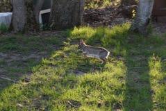 野兔跑 免版税库存图片