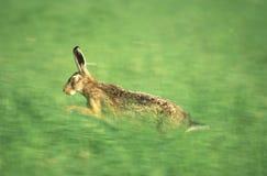 野兔运行中 库存照片