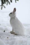 野兔雪靴 免版税库存照片