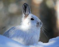 野兔雪靴 库存图片