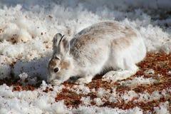 野兔雪靴 免版税图库摄影