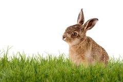 年轻野兔,复活节兔子坐绿色草甸 免版税库存照片