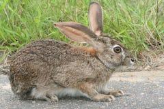 野兔洗刷 免版税库存照片