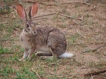 野兔洗刷 图库摄影