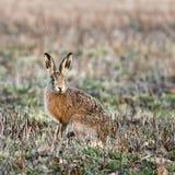 野兔-天兔座 免版税库存照片