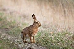 野兔-天兔座 库存照片
