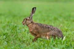 野兔 免版税库存照片