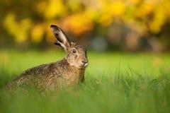 野兔 库存图片