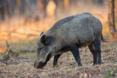 野公猪一个森林在荷兰。 库存图片