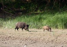 野公猪和小猪 免版税库存照片