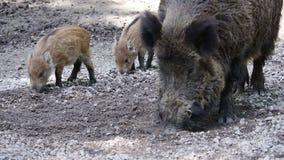 野公猪和年轻人 影视素材