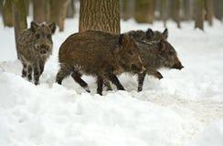 野公猪在冬天 免版税库存照片