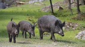 野公猪在加拿大公园 免版税库存照片