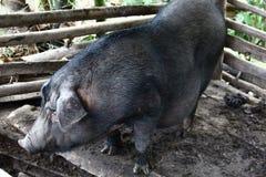 野公猪在动物摊位中 库存照片