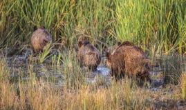 野公猪在沼泽 免版税库存图片