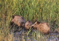 野公猪在沼泽 库存照片