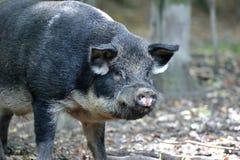 野公猪在秋天森林里 库存图片