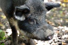 野公猪在秋天森林里 免版税图库摄影