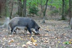 野公猪在秋天森林里 库存照片