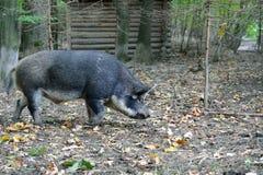 野公猪在秋天森林里 免版税库存照片
