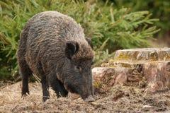 野公猪在秋天 免版税库存照片