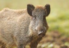 野公猪在秋天 库存照片