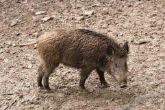 野公猪在他们的自然环境里 库存图片
