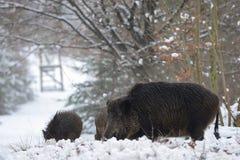野公猪家庭在冬天森林里 免版税库存图片