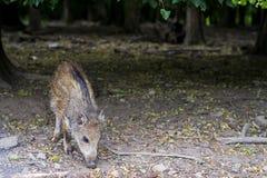 野公猪小的猪,发出短促刺耳声物在森林里在树下 免版税库存图片
