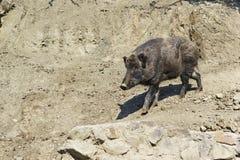 野公猪或狂放的猪拉特 SU Scrofa 库存图片