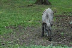 野公猪或食物的SU scrofa开掘的土壤  免版税库存图片