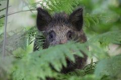 野公猪深深SU scrofa在森林下木 免版税库存图片