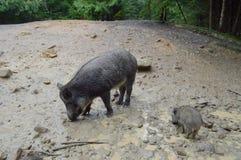 野公猪用小的小猪 库存照片