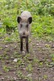 年轻野公猪看 库存照片