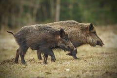 野公猪赛跑 图库摄影