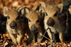 野公猪,小猪 库存图片
