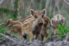 野公猪,幼小公猪 库存图片