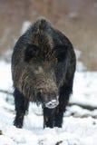 野公猪,男性在冬天 免版税库存照片