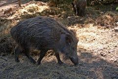 野公猪,索尔沃什,匈牙利 库存照片