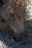 野公猪,索尔沃什,匈牙利 库存图片