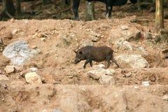野公猪,野生猪 免版税库存照片