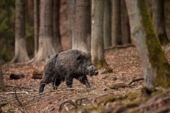 野公猪, SU scrofa,捷克共和国 库存照片