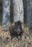 野公猪,Tadoba国立公园,钱德拉布尔县,马哈拉施特拉,印度 免版税库存图片