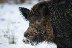 野公猪头在冬天 库存照片
